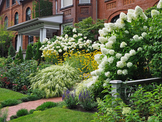 Front yard on residential street, with white panicle hydrangea bushes blooming in late summer