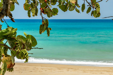 Bunches of green grape with leaves on tree branches growing at the sunny beach, relaxing panoramic oceanfront summer view, caribbean coastal landscape with sand and waves, Sosua, Puerto Plata, Dominic