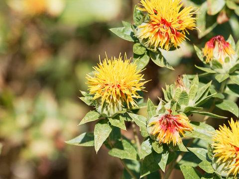 Carthamus tinctorius -  Fleur de Carthame des teinturiers ou Safran des teinturiers à floraison globulaire teintée de jaune orange et rouge en période estivale