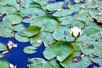 Photo sur Plexiglas Nénuphars green water lilies on a blue pond