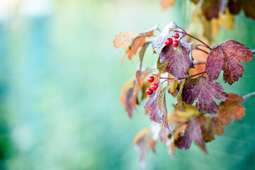 Beautiful autumn landscape-autumn red viburnum berries and leaves. Blurred green background. Autumn background