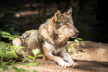 Acrylic Prints Wolf Gray Wolf resting in the Forest