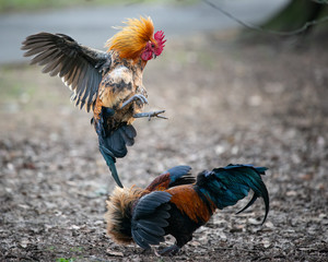 Two wild roosters fighting and jumping in the Western Spring park in Auckland