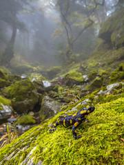 Photo sur Toile Pays d Asie Fire salamander in forest landscape