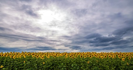 Wall Mural - Cloudy sky above yellow - green field sunflower, panoramic view. Beautiful scenic dynamic landscape agricultural land, 4K time lapse. Beauty nature, agriculture.