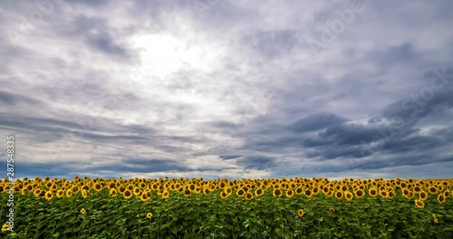Fototapete Cloudy sky above yellow - green field sunflower, panoramic view. Beautiful scenic dynamic landscape agricultural land, 4K time lapse. Beauty nature, agriculture.