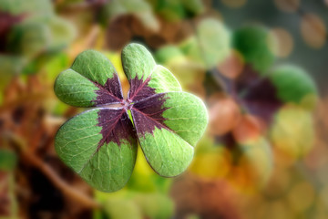 Image of lucky clover with blurred background