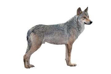 Foto auf Leinwand Wolf alert wolf isolated on a white