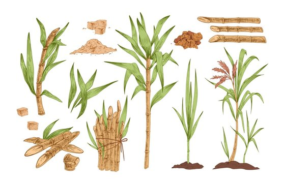 Sugarcane hand drawn vector illustrations set. Growing tree sprout with leaves and stem. Sugar cane sprigs in soil drawings pack. Food spices and flavoring harvest isolated cliparts collection.