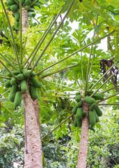 Papaya Fruits of Papaya tree in garden in Thailand