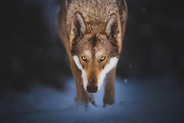 Saarloos wolfdog in the snow