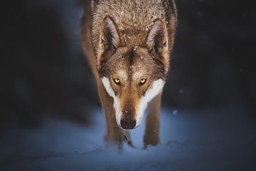 Photo sur Plexiglas Loup Saarloos wolfdog in the snow