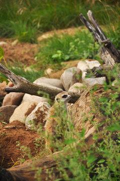 Meerkat in the zoo close-up. Animals, mammals, nature