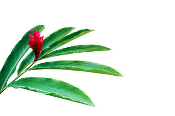 Wall Mural - Green leaves with red flower of red ginger (Alpinia purpurata) tropical forest plant isolated on white background, clipping path included.