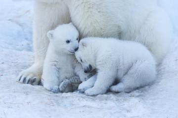 Photo sur Aluminium Ours Blanc Polar bear family on white snow background.