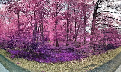 Fototapeta Beautiful pink and purple infrared panorama of a european countryside landscape with a blue sky