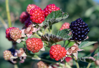 Close-up of Blackberries in Various Stages of Ripening on Plant