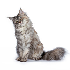 One eyed grey Maine Coon Cat sitting with his head tilted.  Isolated on white background.