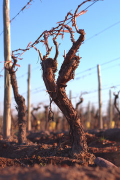 Low angle view of a grapevine after winter pruning in Mendoza, Argentina.