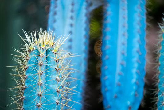 Pilosocereus azureus (Blue Boy) cactus with contrasting golden spines