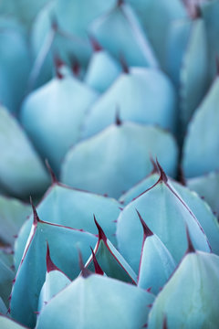 Close-up view of the thorns of an agave cactus