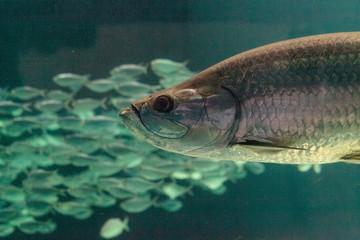 Large Tarpon fish Megalops atlanticus swims