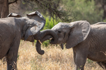 Two elephants playing in the Tarangire National Park