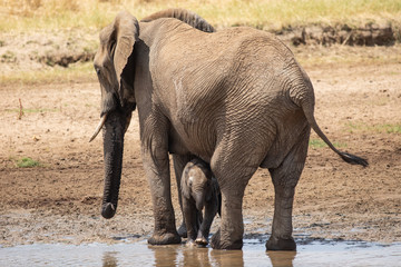 Mother Elephant and her young at a water hole