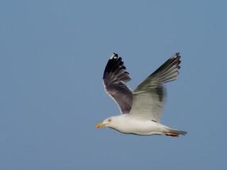 Fotoväggar - Great black-backed gull, Larus marinus,