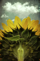 sunflower with cloud, close-up