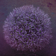Close up of purple allium