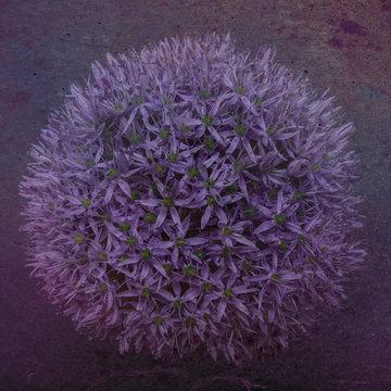Close up of purple allium