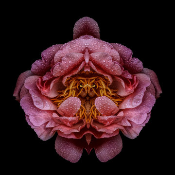 Pink peony with face