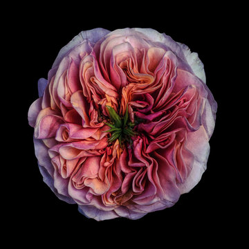pink rose, close-up