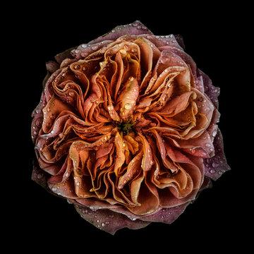 Rose, close-up
