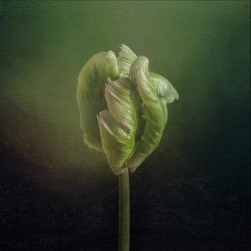 Green tulip bud