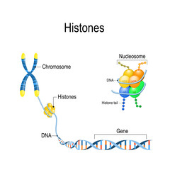 Histones close up. Organization and packaging of genetic material (DNA) in Chromosome