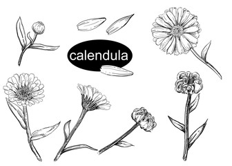 Detailed hand drawn vector illustration set of calendula flower, seeds. Black and white sketch of isolated flower.