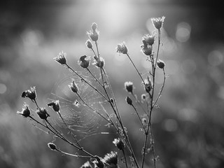 Backlit meadow flowers. Black and white image.