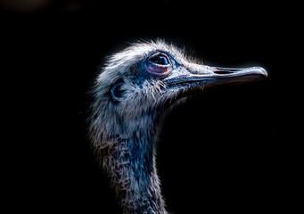 Foto op Aluminium Struisvogel austrich