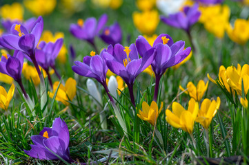 Poster Krokussen Field of flowering crocus vernus plants, group of bright colorful early spring flowers in bloom