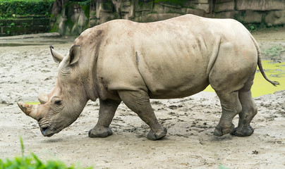 White rhinoceros or square-lipped rhinoceros young