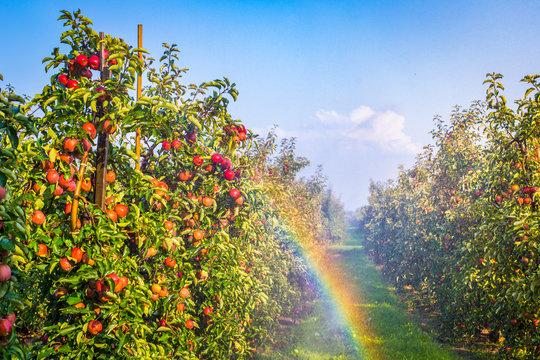 Apfelplantage in Norddeutschland