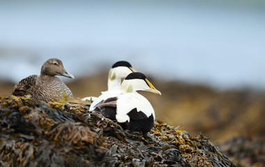 Close-up of a group of Common eiders lying in seaweeds