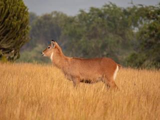 Waterbuck in Queen Elizabeth National Park, Uganda, East Africa
