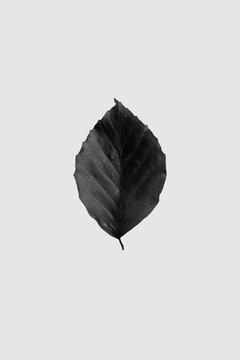 Beech leaf