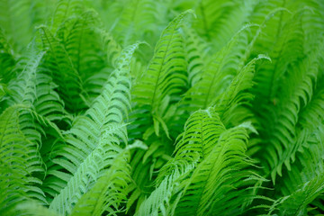 great green bush of fern in the forest