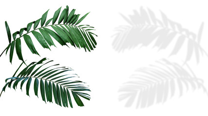Wall Mural - Ornamental palm leaves (Kentia palm or Howea species) the tropical foliage plant isolated on white background with clipping path, palm fronds shadow included.