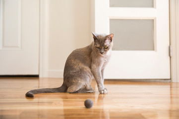 Tonkinese cat playing with felt ball