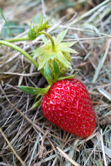 Germany, ripe red strawberry, mulched